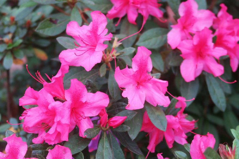 Amazing Azaleas Simple Guidelines Can Help Keep Your Landscape Lush And Beautiful