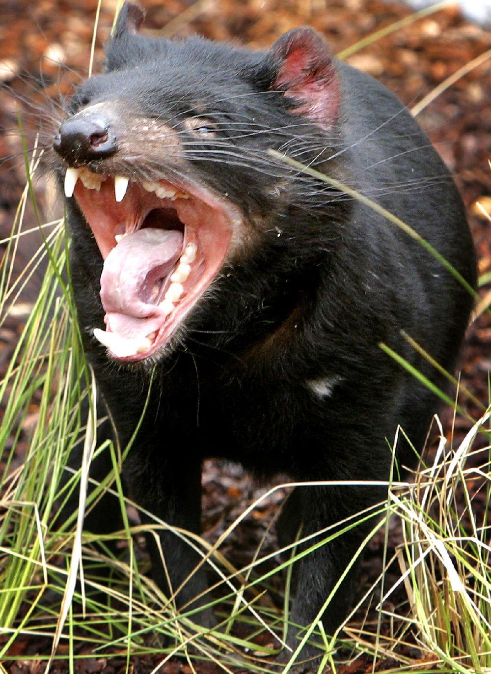 jacksonville to debut tasmanian devil mascot jacksonville to debut tasmanian devil