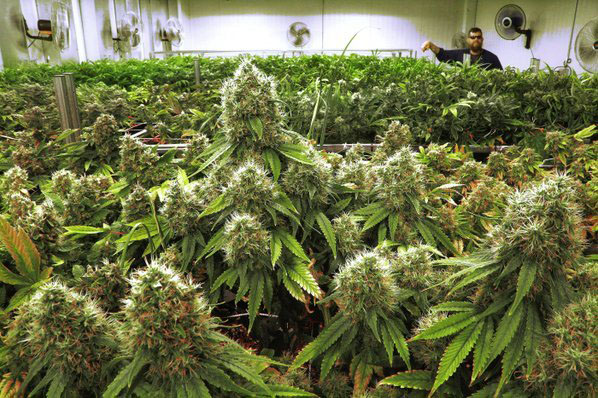 Slow start, but Rx pot facilities now thriving