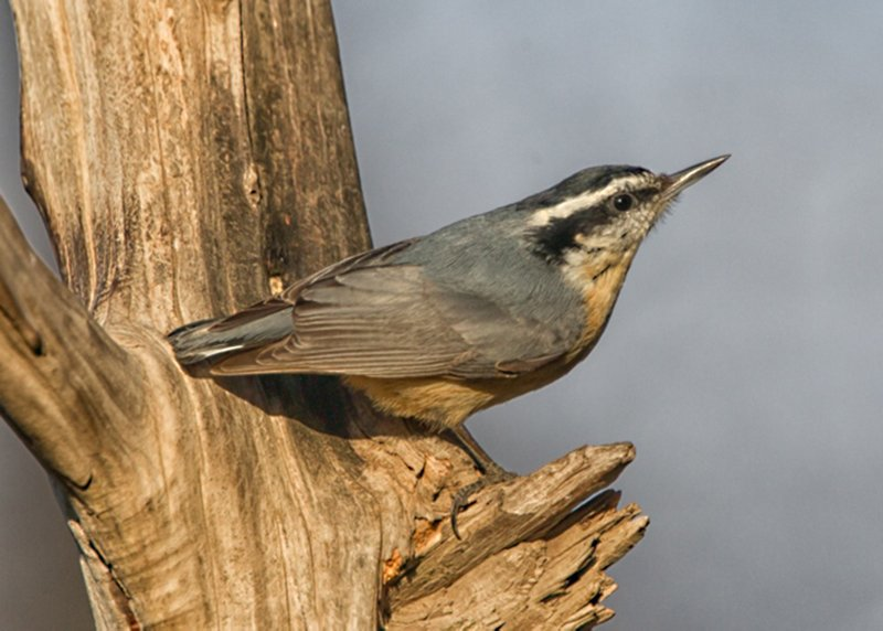 Arkansas birders rally to free 119th Christmas Bird Count from