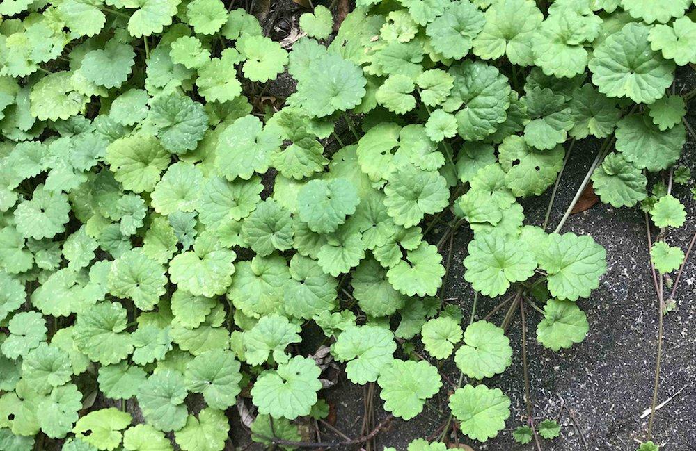 Ground ivy. (Special to the Democrat-Gazette)
