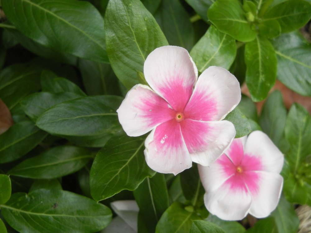 The annual periwinkle thrives in full sun and does not become invasive because it dies out in the winter. (Special to the Democrat-Gazette/JANET B. CARSON)