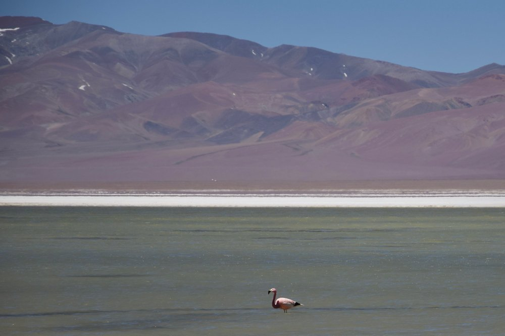 The Andean flamingo is one of the rarest flamingos in the world. (Photo by Mark Johanson via TNS/Chicago Tribune)