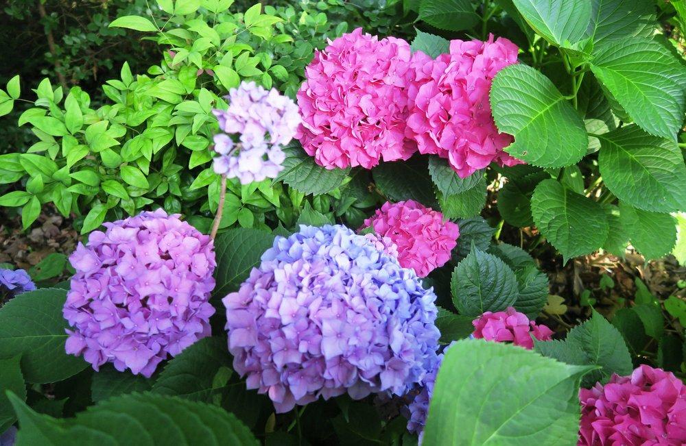 Hydrangeas in June. (Special to the Democrat-Gazette/JANET B. CARSON)