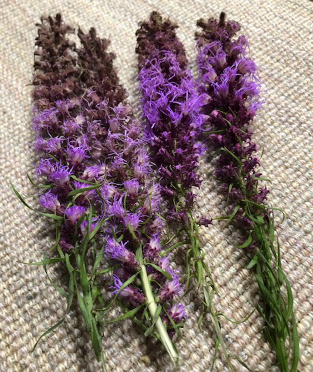 Liatris is a native plant known by the common names blazing star and gayfeather. (Special to the Democrat-Gazette)