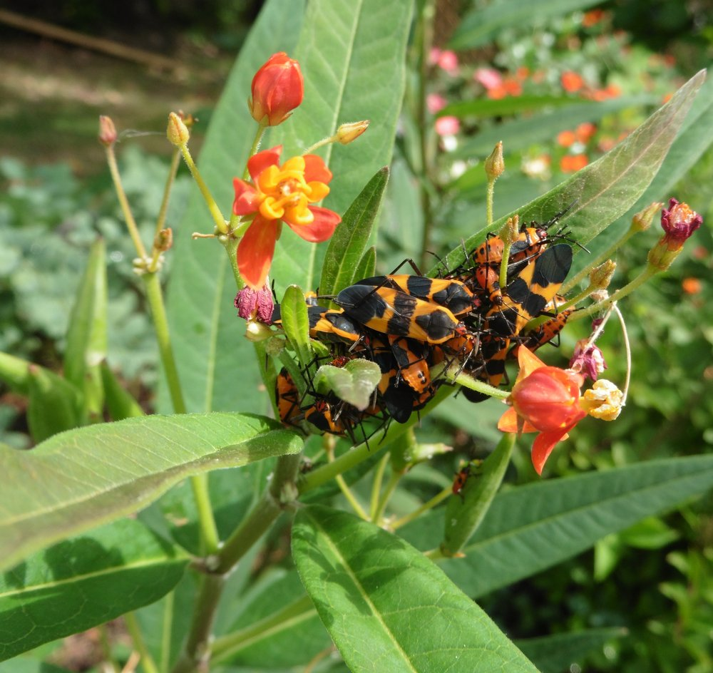Milkweed bugs are a nuisance but shouldn't be dosed with insecticide because monarch butterflies feed on the same plants. (Special to the Democrat-Gazette/JANET B. CARSON)