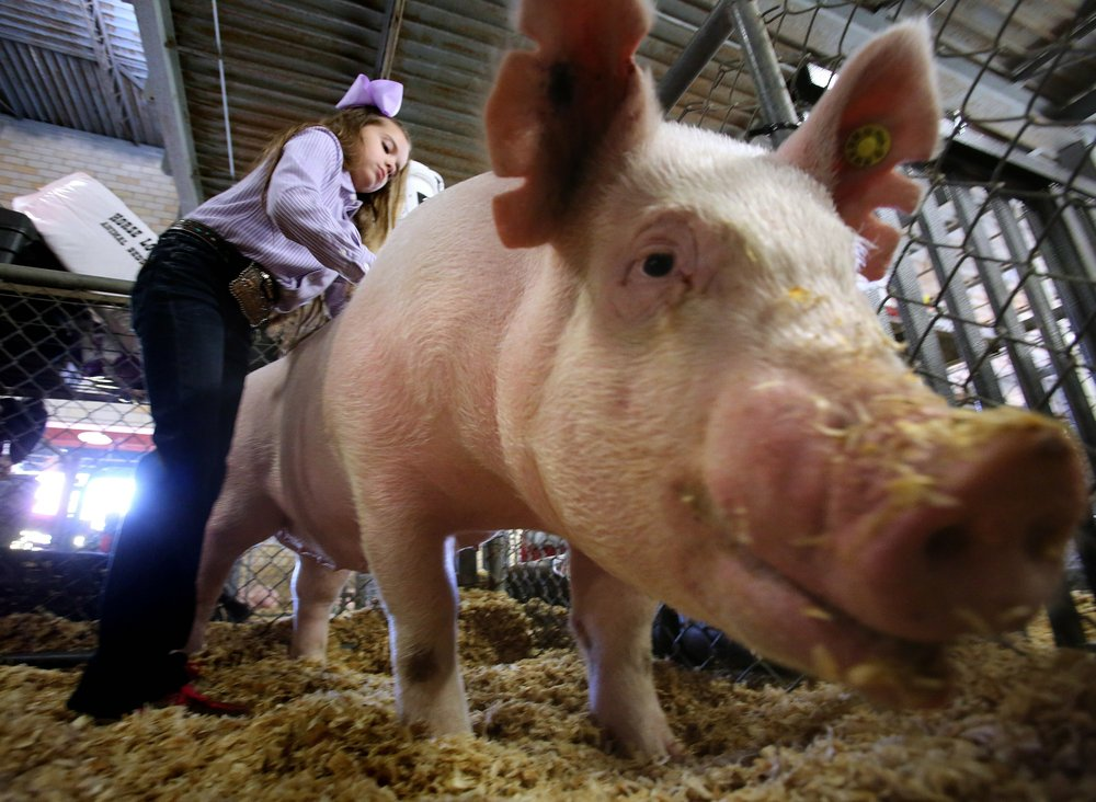 Landry Mitchell of Magnolia gets her pig ready for the spotlight at the 2018 Arkansas State Fair. Democrat-Gazette file photo/Thomas Metthe