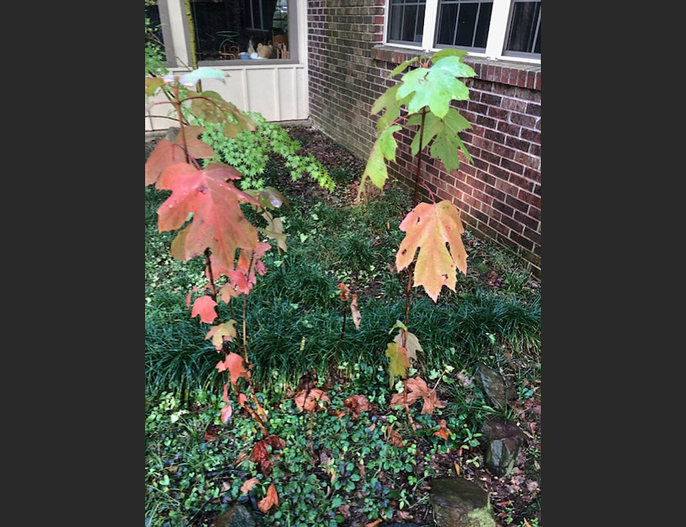 In late October, volunteer oakleaf hydrangeas can be transplanted to a spot where they won't be sunburned.  For In the Garden. (Special to the Democrat-Gazette)