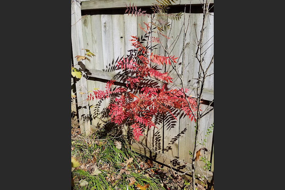 This unusual volunteer Chinese Pistach will need to be moved away from the fence since it can grow to be a midsize tree. (Special to the Democrat-Gazette)
