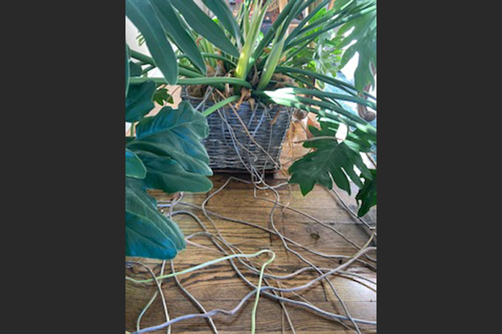 Philodendron is not winter-hardy in Arkansas. (Special to the Democrat-Gazette)