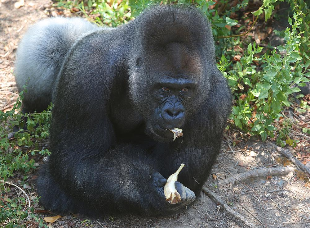 Brutus, Little Rock Zoo's silverback, dies after medical exam