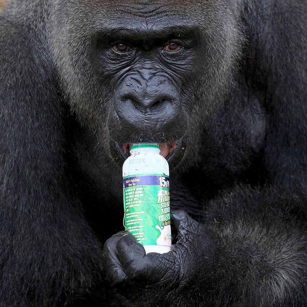 "Brutus enjoys some milk in July at the Little Rock Zoo. Zookeepers described the Western lowland gorilla as ""charming and sweet."" More photos at arkansasonline.com/1121brutus/.