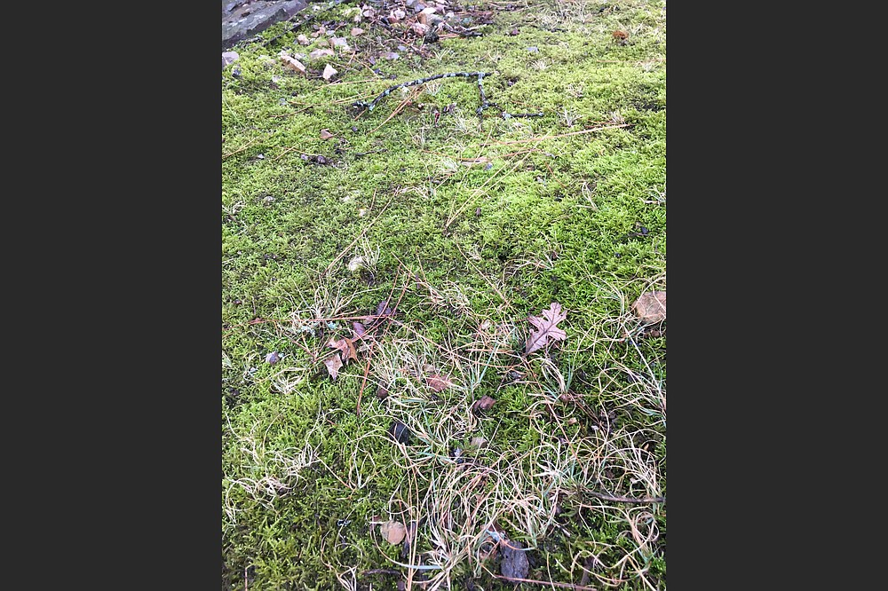 Bits of moss from nearby can be plugged into a damaged section to repopulate a moss ground cover. (Special to the Democrat-Gazette)