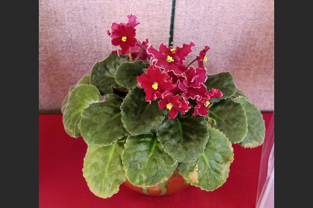 African violets root readily from their leaves, and the resulting new plant is like the parent. (Special to the Democrat-Gazette)