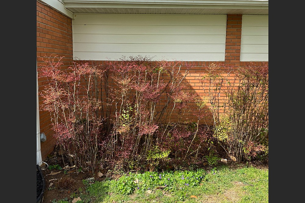 To encourage Nandinas to leaf out lower in the shrub, cut a few canes at the soil line. (Special to the Democrat-Gazette)
