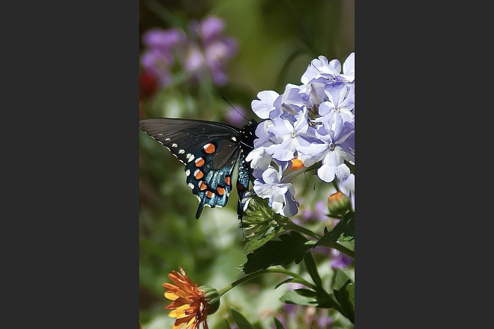 This colorful Pipevine Swallowtail finds the Superbena Stormburst verbena to be just perfect. (TNS/Norman Winter)