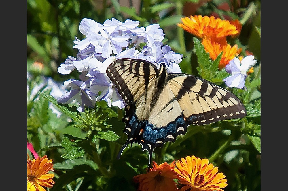 The female Eastern Tiger Swallowtail sports blue on the bottom wings which seems to echo the colors of the Superbena Stormburst blossoms. (TNS/Norman Winter)