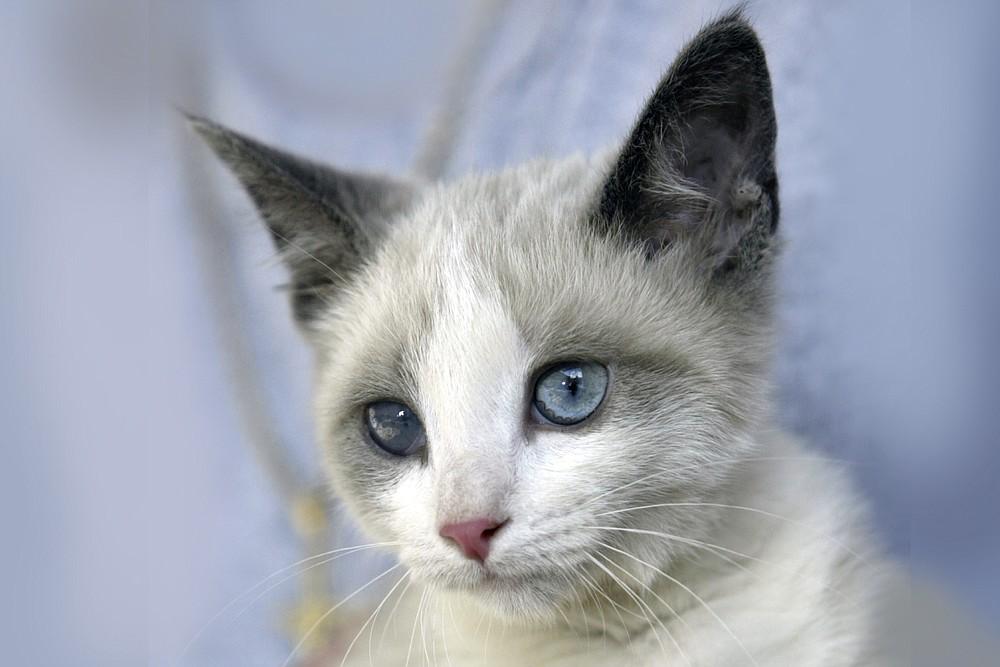 A Siamese cat has points — darker color fur on certain body parts, including the ears. (Democrat-Gazette file photo)