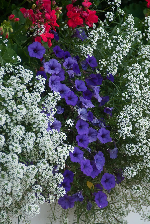 Supertunia Mini Vista Indigo petunia, Snow Princess sweet alyssum and Calliope geraniums combine for a red white and blue theme. (TNS/Norman Winter)