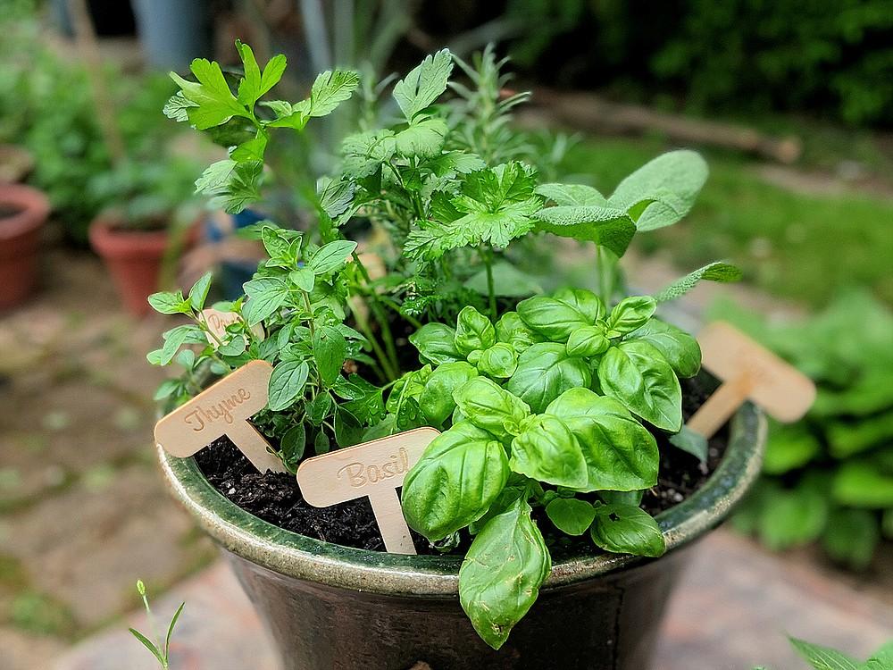 An Italian herb garden often includes basil, oregano, sage, thyme and flat-leaf parsley. (Pittsburgh Post-Gazette/TNS/Gretchen McKay)