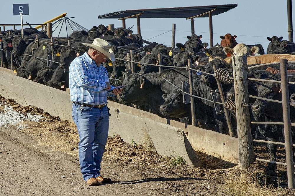 Mike Drinnin checks his cellphone at a feedlot in Columbus, Neb., Wednesday, June 10, 2020. Drinnin, who owns feedlots in Nebraska, said everyone involved in raising and feeding cattle felt the squeeze this spring when beef and pork processing plants were operating at roughly 60 percent of capacity, amid the coronavirus pandemic. It's welcome news that production is now above 95 percent of last year's level, but a backlog of millions of pigs and cattle remains. (AP Photo/Nati Harnik)