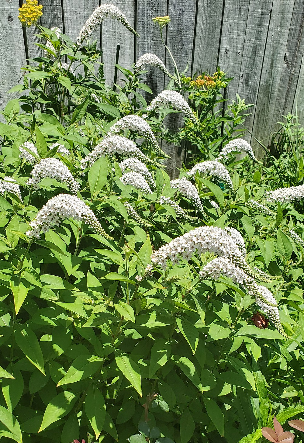 Gooseneck loosestrife (Lysimachia clethroides) spreads prolifically by rhizomes and will overrun a garden if not contained.  (Special to the Democrat-Gazette)