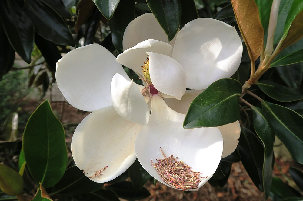 The different types of Southern magnolias have varying juvenile periods before their first bloom.  (Special to the Democrat-Gazette/Janet B. Carson)