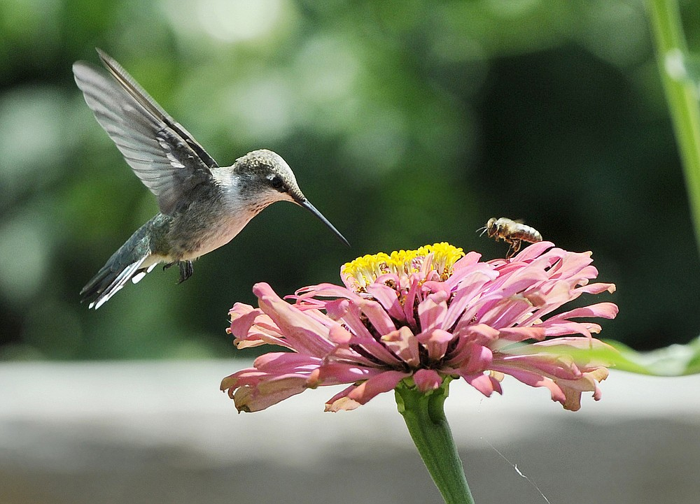 FILE - In this Aug. 4, 2015, file photo, a hummingbird and a bee pollinate a flower at the Veterans Therapeutic Gardens in Caldwell, Idaho. Homeowners can attract hummingbirds to their gardens with a multitude of flowering plants that include bleeding hearts, cardinal flower, impatiens and petunias. (Adam Eschbach/The Idaho Press-Tribune via AP, File)