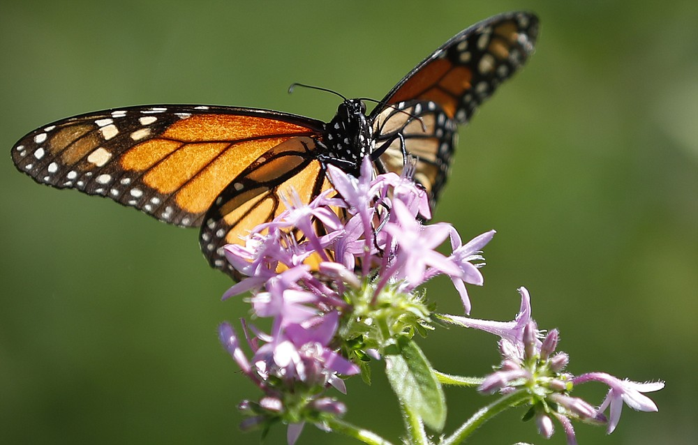 FILE - In this July 1, 2019, file photo, a monarch butterfly lands on a penta plant in the front yard of Tom Carroll and Hermine Ricketts in Miami Shores, Fla. Homeowners can attract butterflies to their gardens with a multitude of plants that include fennel, dill, and milkweed. (AP Photo/Wilfredo Lee, File)
