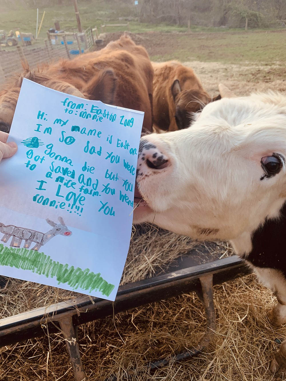 Ronnie, a rescued cow living at Here With Us Animal Sanctuary, poses with a kid's pen pal letter. (The Washington Post/Amanda Clark)
