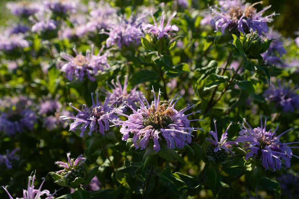 Rows of bee balm stand Thursday, June 25, 2020, at a farm in Fayetteville that is participating in the Arkansas Native Seed Program. The program is a collaboration of several state, federal, and nonprofit partners who are working to create a native seed industry for the state. The goal is to create a local infrastructure capable of producing large amounts of native seed that can be used in wildlife habitat restoration efforts statewide. Visit nwaonline.com/200626Daily/ for today's photo gallery. (NWA Democrat-Gazette/Andy Shupe)