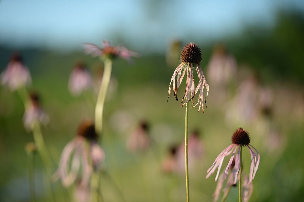 Purple cone flowers stand Thursday, June 25, 2020, at a farm in Fayetteville that is participating in the Arkansas Native Seed Program. The program is a collaboration of several state, federal, and nonprofit partners who are working to create a native seed industry for the state. The goal is to create a local infrastructure capable of producing large amounts of native seed that can be used in wildlife habitat restoration efforts statewide. Visit nwaonline.com/200626Daily/ for today's photo gallery. (NWA Democrat-Gazette/Andy Shupe)