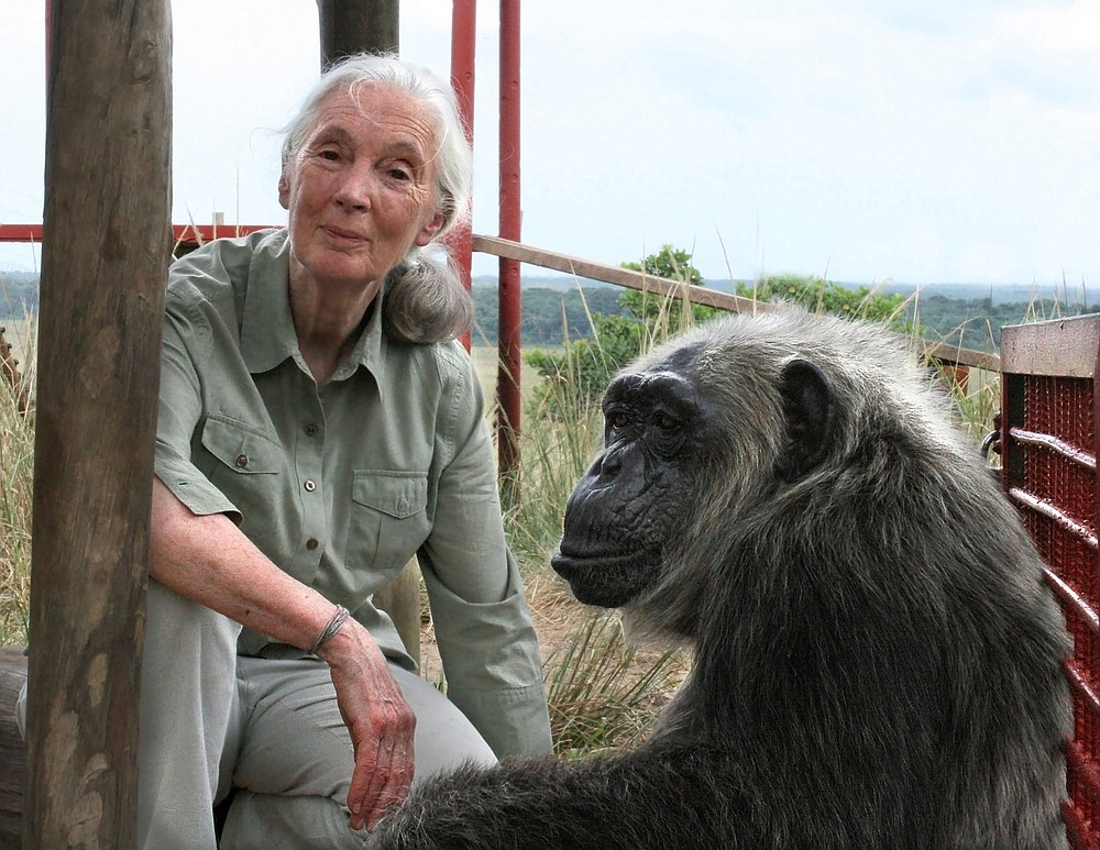 Jane Goodall with LaVielle at the Tchimpounga Chimpanzee Rehabilitation Center in Congo Republic. Goodall, a world-famous champion of chimpanzees, began her career studying their behavior 60 years ago this month at Gombe Stream Game Reserve in what is now Tanzania. (JGI/Fernando Turmo)