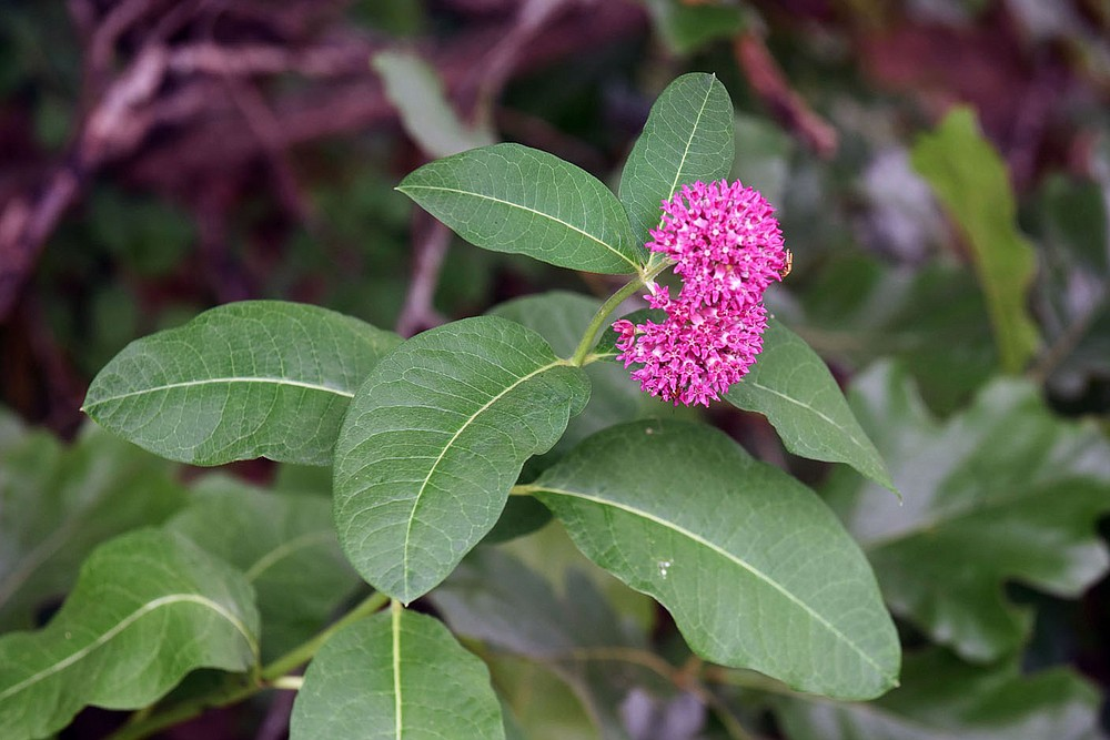 Purple milkweed, a key wildflower for monarch butterflies, grows June 12 2020 along the park tour road. (NWA Democrat-Gazette/Flip Putthoff)