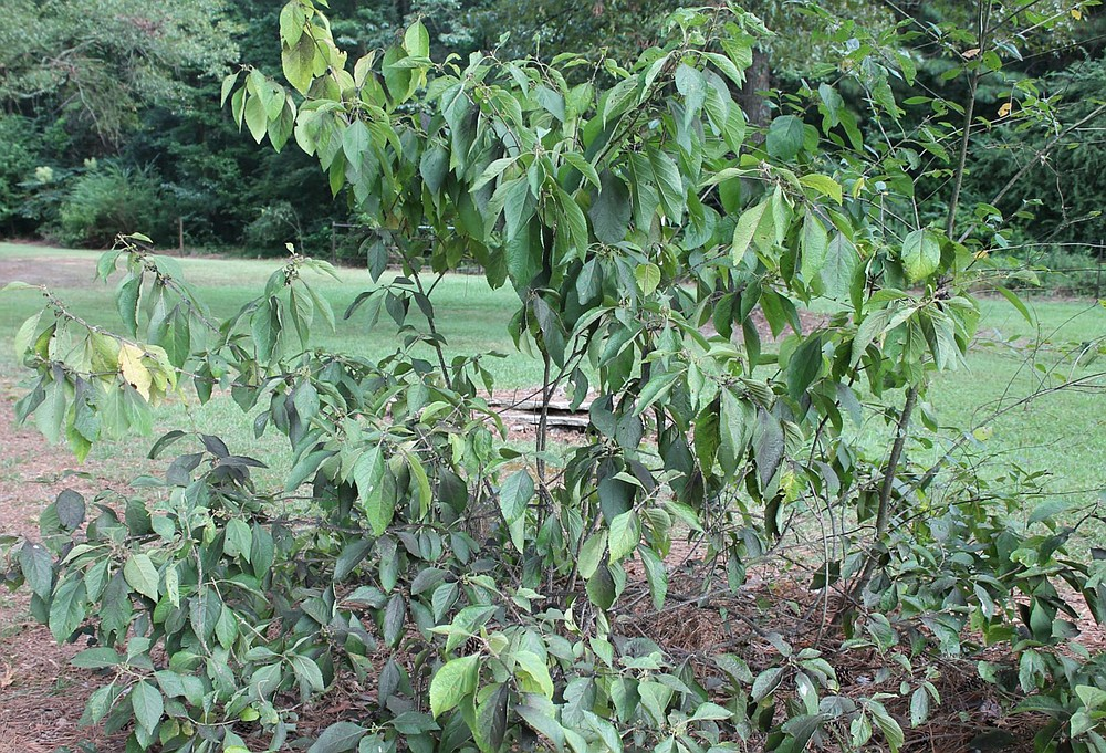 This beautyberry shrub appears to be infested with crape myrtle bark scale. (Special to the Democrat-Gazette)