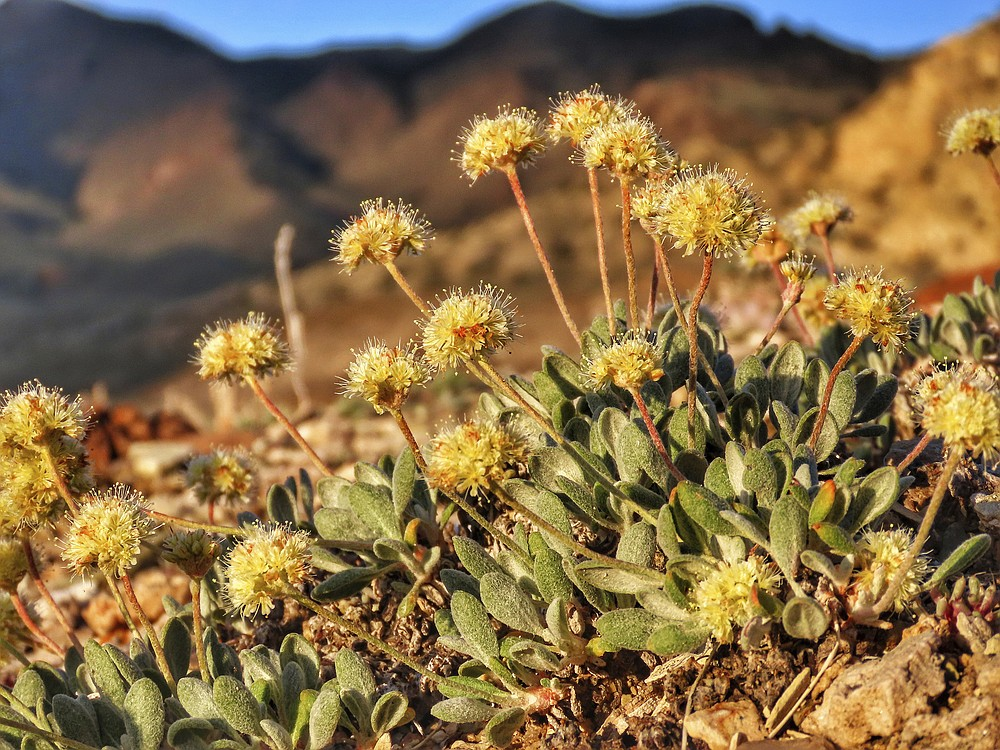 This photo provided by the Center for Biological Diversity shows Tiehm's buckwheat blooming at Rhyolite Ridge in the Silver Peak Range of Western Nevada, on June 1, 2019. A botanist hired by a company planning to mine one of the most promising deposits of lithium in the world believes the rare desert wildflower at the site should be protected under the Endangered Species Act. The unusually candid disclosure is included in more than 500 pages of emails obtained by conservationists and reviewed by The Associated Press regarding Ioneer Ltd.'s plans to build the mine near the only population of Tiehm's buckwheat known to exist on earth. (Patrick Donnelly/Center for Biological Diversity via AP)