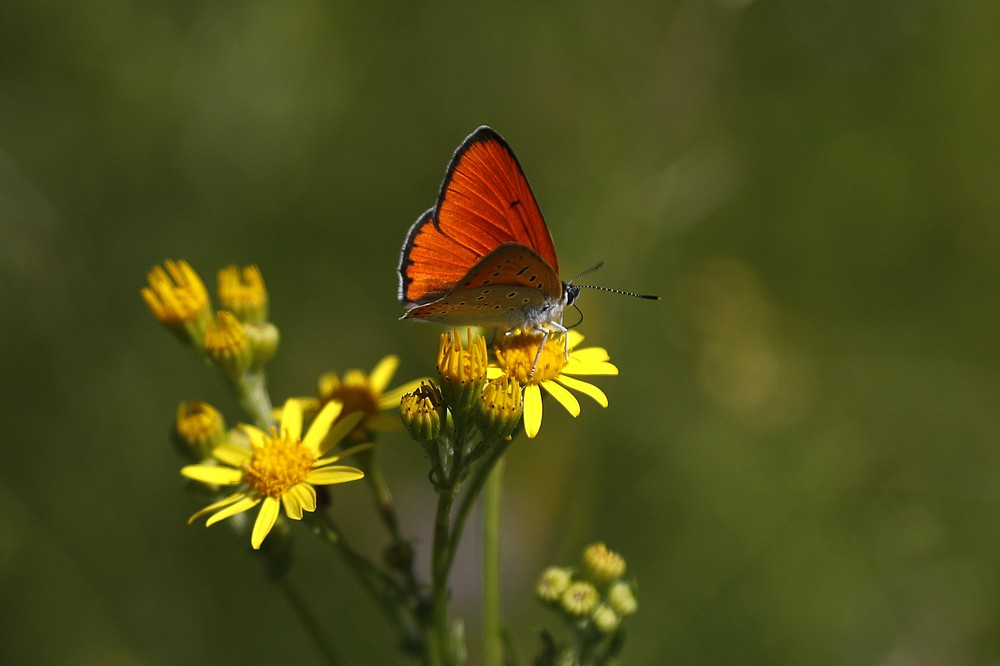 A large copper butterfly (lycaena dispar) sits on flower at a wildlife sanctuary in Milovice, Czech Republic, Wednesday, July 22, 2020. Wild horses, bison and other big-hoofed animals once roamed freely in much of Europe. Now they are transforming a former military base outside the Czech capital in an ambitious project to improve biodiversity. Where occupying Soviet troops once held exercises, massive bovines called tauros and other heavy beasts now munch on the invasive plants that took over the base years ago. (AP Photo/Petr David Josek)