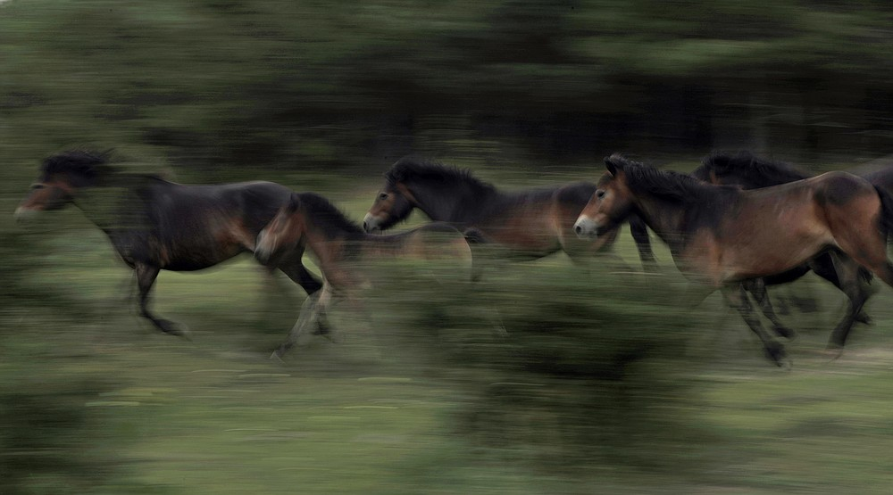 Wild horses gallop across a meadow at a wildlife sanctuary in Milovice, Czech Republic, Tuesday, July 28, 2020. Wild horses, bison and other big-hoofed animals once roamed freely in much of Europe. Now they are transforming a former military base outside the Czech capital in an ambitious project to improve biodiversity. Where occupying Soviet troops once held exercises, massive bovines called tauros and other heavy beasts now munch on the invasive plants that took over the base years ago. (AP Photo/Petr David Josek)