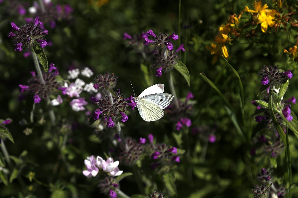 A cabbage white butterfly (pieris rapae) sits on a flower at a wildlife sanctuary in Milovice, Czech Republic, Friday, July 17, 2020. Wild horses, bison and other big-hoofed animals once roamed freely in much of Europe. Now they are transforming a former military base outside the Czech capital in an ambitious project to improve biodiversity. Where occupying Soviet troops once held exercises, massive bovines called tauros and other heavy beasts now munch on the invasive plants that took over the base years ago. (AP Photo/Petr David Josek)