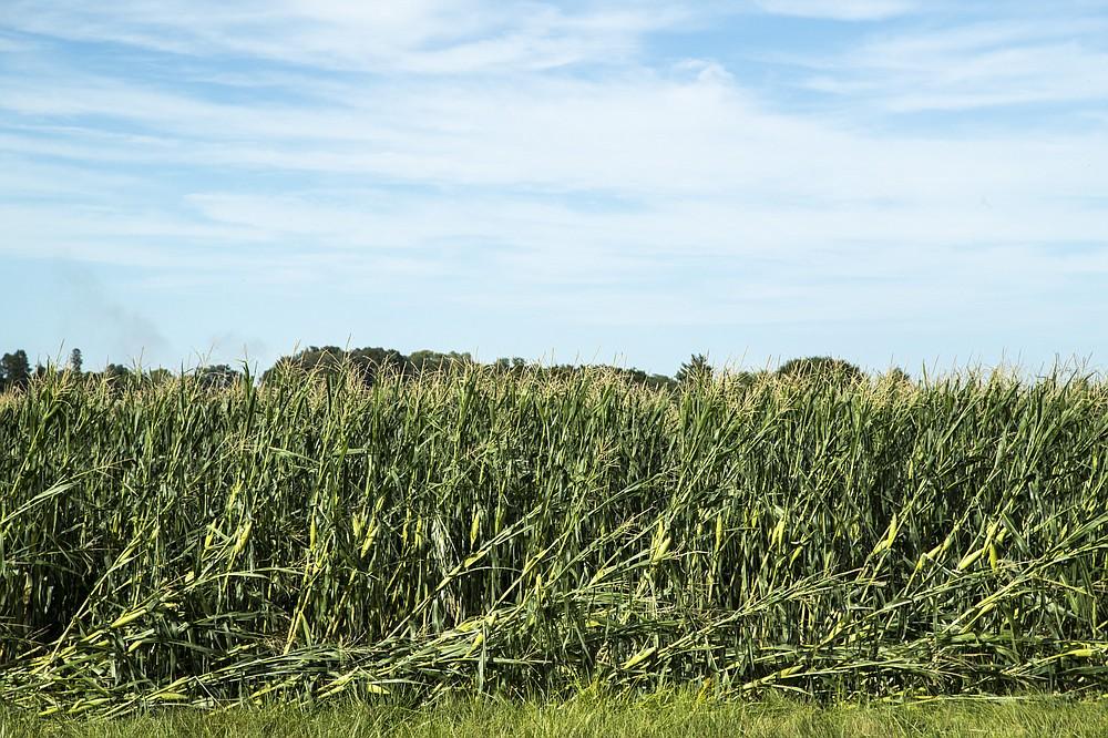 Stocks of corn are damaged, Tuesday, Aug. 11, 2020, after a storm in North Liberty, Iowa.  ( Joseph Cress/Iowa City Press-Citizen via AP)