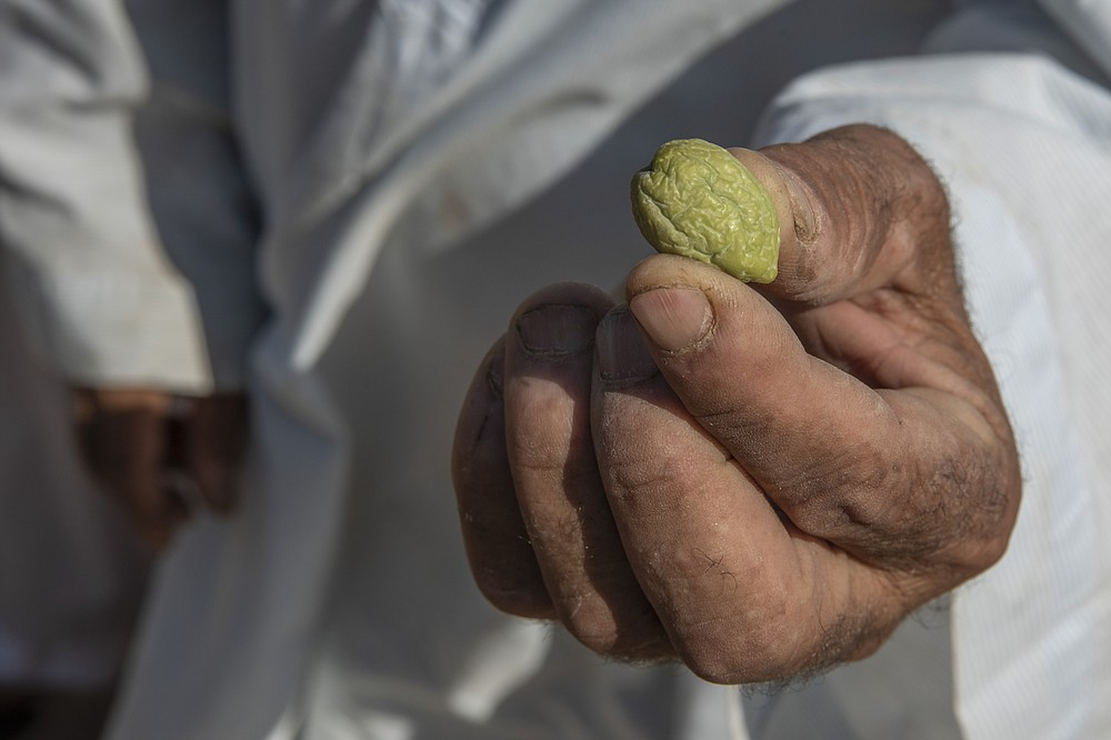 A farmer shows a shriveled olive on a land that was once fertile and green, in Second Village, Qouta town, Fayoum, Egypt, Wednesday, Aug. 5, 2020. Egypt's farmers already face severely stretched water resources due to years of mismanagement and increasing population. Now they worry about the impact of Ethiopia's massive dam project on the Blue Nile, the main tributary feeding the Nile River. No one is sure what effect the dam will have, but many farmers already see the Nile waters they once used to irrigate their fields diverted and they watch their fields drying up. (AP Photo/Nariman El-Mofty)