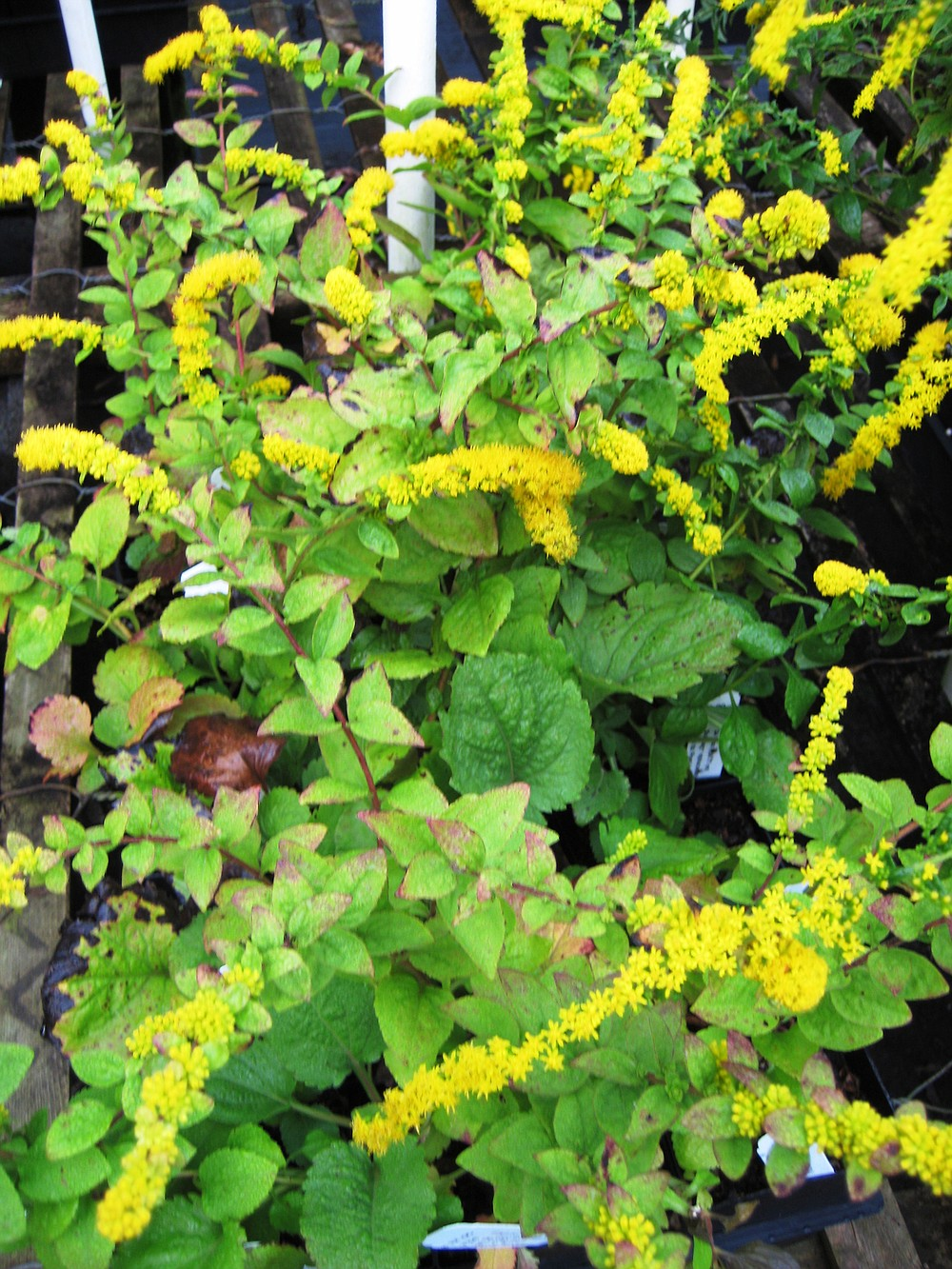 """""""Golden Fleece"""" is a compact goldenrod that grows about 15 inches tall and blooms from late summer through fall.  (Special to the Democrat-Gazette/Janet B. Carson)"""