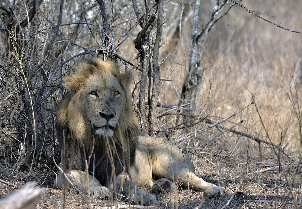 A lion is seen in the Kruger National Park, South Africa, Tuesday, Aug, 25, 2020. Africa's tourism sector is struggling to cope with the drop in international travel caused by the COVID-19 pandemic. The World Travel and Tourism Council estimates the drop in travel caused by the COVID-19 pandemic will see Africa lose between $53 billion and $120 billion in contributions to its GDP in 2020. (AP Photo/Kevin Anderson)
