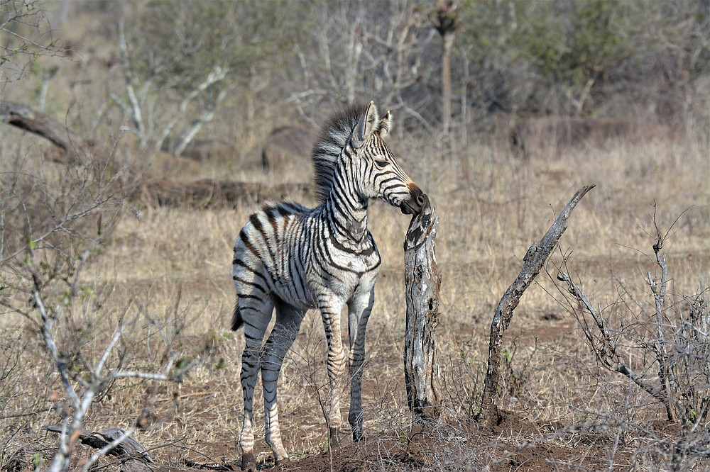 A baby zebra is seen in the Kruger National Park, South Africa, Monday, Aug, 24, 2020. Africa's tourism sector is struggling to cope with the drop in international travel caused by the COVID-19 pandemic. The World Travel and Tourism Council estimates the drop in travel caused by the COVID-19 pandemic will see Africa lose between $53 billion and $120 billion in contributions to its GDP in 2020. ( AP Photo/Kevin Anderson)