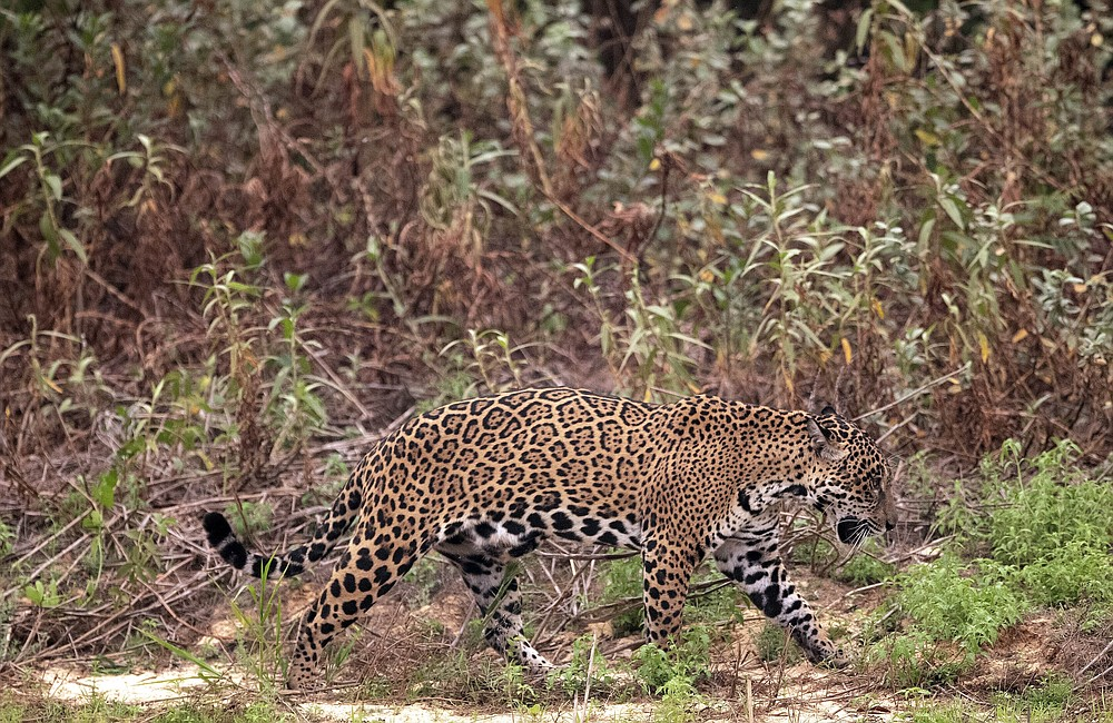 A jaguar limps along the banks of the Piqueri river in the Encontro das Aguas Park near Pocone, Mato Grosso state, Brazil, Saturday, Sept. 12, 2020. Wildfire has infiltrated the state park, an eco-tourism destination known for its population of jaguars. (AP Photo/Andre Penner)