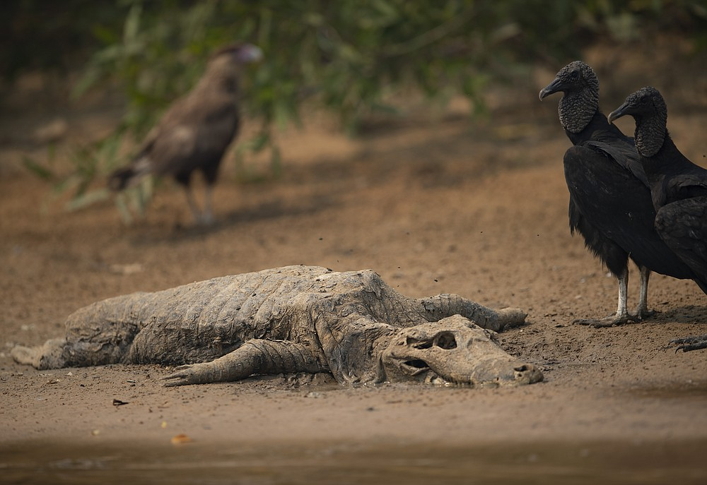 Vultures stand next to the carcass of a alligator on the banks of the Cuiaba river at the Encontro das Aguas Park in the Pantanal wetlands near Pocone, Mato Grosso state, Brazil, Saturday, Sept. 12, 2020. Wildfire has infiltrated the state park, an eco-tourism destination that is home to thousands of plant and animal species. (AP Photo/Andre Penner)