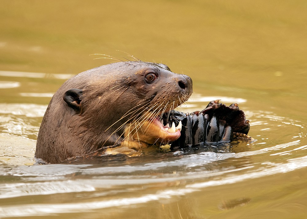 An otter eats a fish at the Encontro das Aguas park at the Pantanal wetlands near Pocone, Mato Grosso state, Brazil, Saturday, Sept. 12, 2020. Wildfire has infiltrated the part as the number of fires at the world's biggest tropical wetlands has more than doubled in the first half of 2020, according to data released by a state institute. (AP Photo/Andre Penner)