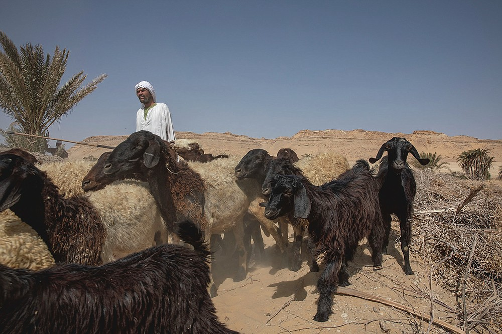 Egyptian farmer and shepherd Abu Mazen walks his sheep after they grazed on dry land that was once fertile and green, in Second Village, Qouta town, Fayoum, Egypt, Saturday, Aug. 8, 2020. Second Village, was one of multiple agricultural communities created in Egypt in the 1960s by the socialist government of President Gamal Abdel-Nasser. Built on reclaimed desert, it depends for irrigation on the Yusuf Canal, which flows from the Nile through Fayoum, fanning out in a series of channels. The villagers enumerated the variety of crops they used to farm, ranging from cotton and vegetables to wheats and grains. (AP Photo/Nariman El-Mofty)