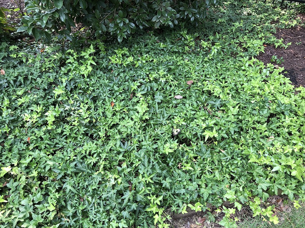 Ivy in all its forms can be invasive and will climb trees, fences and even houses.  (Special to the Democrat-Gazette)