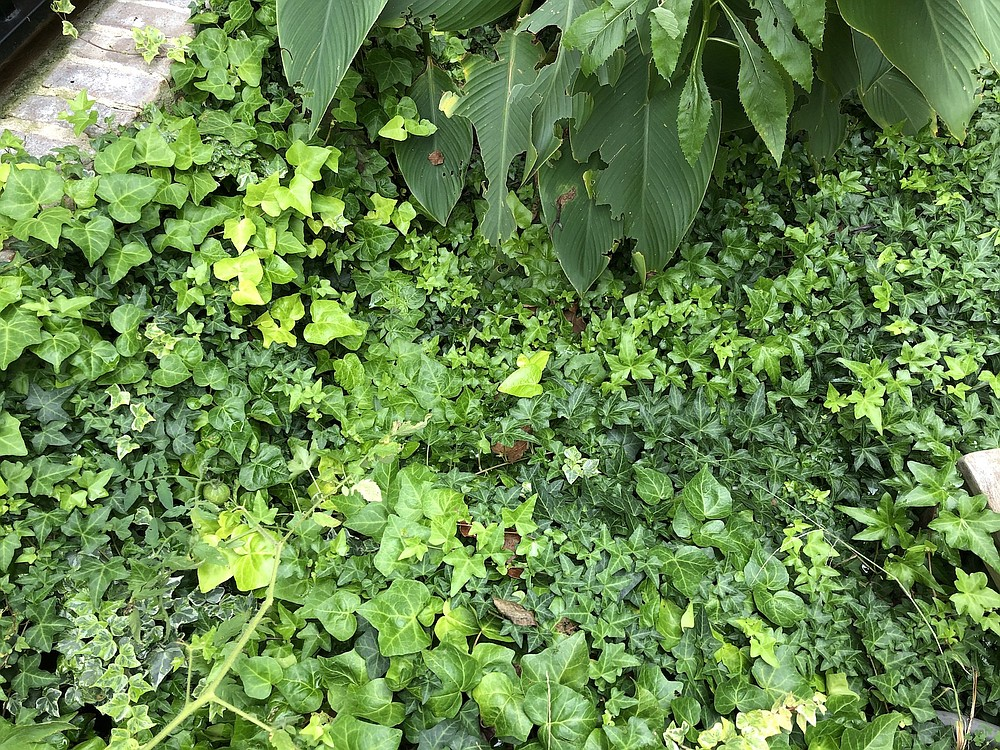 Highly invasive ivy can take over a garden. (Special to the Democrat-Gazette)